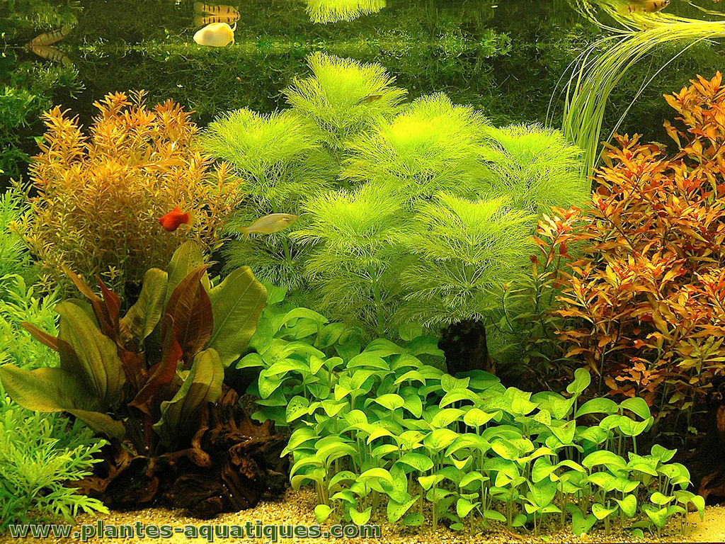 une plante aquarium est une plante aquatique. Black Bedroom Furniture Sets. Home Design Ideas